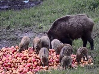 Vứt hàng trăm quả táo trên mảnh đất bỏ hoang rồi bỏ đi, một lát sau quay lại đã thấy cảnh tượng này