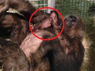 Cảm động trước tình mẫu tử thiêng liêng, khỉ con lần đầu gặp mẹ đã biết thể hiện tình cảm yêu thương vô bờ thế này đây