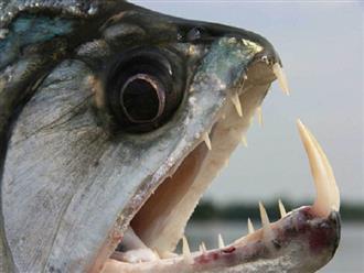 Cận cảnh 'GIÂY PHÚT KINH HOÀNG' cá hổ tấn công và 'XÉ XÁC' con mồi ngay giữa dòng sông