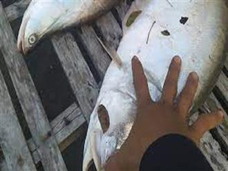 Chài thủ khiến nhiều người ngỡ ngàng khi bắt được cá thác lác khủng gần 10 ký