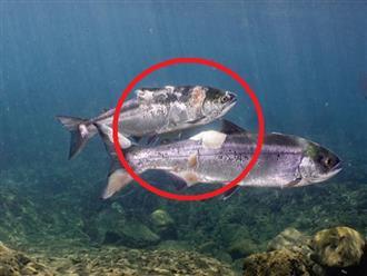 Hứng chịu cái nắng nóng kỷ lục tại Bắc Mỹ, cá hồi như bị 'LUỘC CHÍN', có con còn mất cả mảng thịt lớn trên người