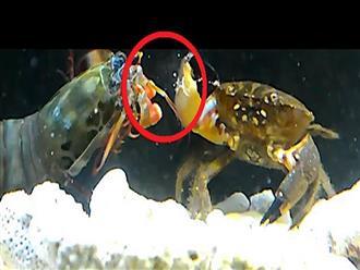 Loài tôm mang đến 'NỖI KHIẾP SỢ' cho nhiều sinh vật biển vì có 'CÚ BÚNG TỬ THẦN' có thể hạ sát được cả cua càng