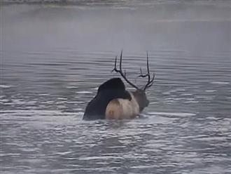 Lớn xác như nai sừng tấm nhưng vẫn bị gấu đen dìm cho đến chết, có được chiến lợi phẩm con gấu vật vã lôi lên bờ xử thịt