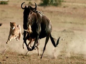 Những lần báo Cheetah phối hợp đầy 'ĐIỆU NGHỆ' để hạ sát con mồi, to khỏe như trâu cũng không phải là đối thủ