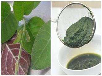 Những loại lá từ thiên nhiên giúp chữa khỏi trào ngược dạ dày vô cùng an toàn và hiệu quả