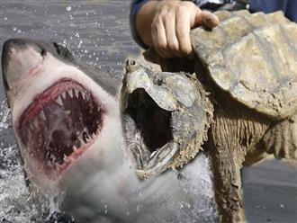 Ỷ mình có 'ÁO GIÁP SẮT' bảo hộ, CỤ RÙA 'ngang tàng' tấn công cả cá mập đại dương