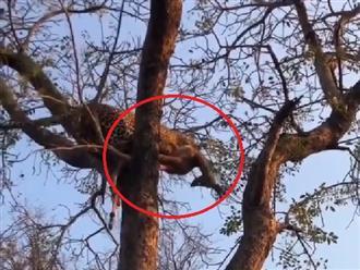Báo hoa mai 'NHANH NHƯ CẮT' lao đến cướp mồi rồi trèo lên cây khiến linh cẩu 'tức anh ách' mà không làm được gì