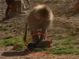 Chuyện thật như đùa: đàn khỉ đầu chó có 'SỞ THÍCH' lạ lùng khi bắt cóc những chú chó con về làm thú cưng