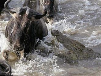 Giỡn mặt 'tử thần' khi nhởn nhơ uống nước trước mặt cá sấu, linh dương đầu bò 'một đi không trở lại'