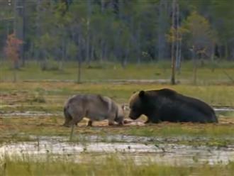 'Kẻ thù không đội trời chung' sói xám và gấu nâu đánh nhau 'long trời lở đất' để tranh con mồi nhìn mà 'ỚN LẠNH'