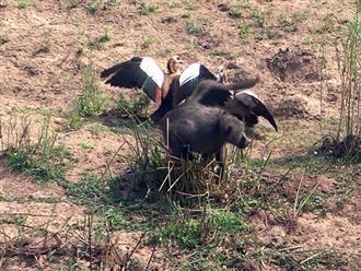Khỉ đầu chó 'ranh ma' bị ngỗng tấn công liên hoàn vẫn nhịn nhục chờ thời cơ để cướp trứng
