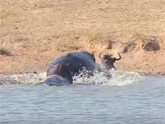 Linh dương đầu bò bị cá sấu cắn xé không thương tiếc, trong lúc 'thập tử nhất sinh' thì 'CỨU TINH' xuất hiện giải vây