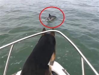 Thấy cá heo bơi lội quanh thuyền tưởng đâu bị 'CÀ KHỊA', chú chó liền nhảy xuống biển quyết chiến và cái kết