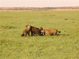 Trâu rừng con lạc đàn thì rơi vào tầm ngắm của những con linh cẩu và cái kết bị xé xác không thương tiếc