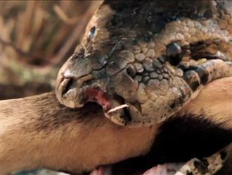 Uống nước bên hồ nhưng thiếu quan sát, linh dương nhận ngay kết đắng vì bị trăn khủng tấn công nhanh như chớp