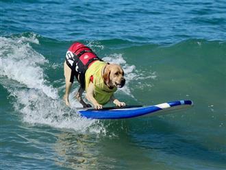 Chú chó ở Anh dành được giải vô địch lướt ván, một môn thể thao thú vị trong thế giới động vật