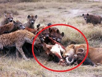 Không thể kiên nhẫn khi nhìn thấy mồi ngon trước mặt, linh cẩu háu đói trả giá đắt vì dám mạo phạm 'NHÀ VUA'