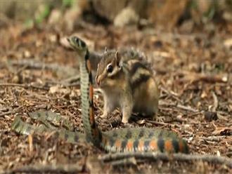 Ỷ mình mang độc, rắn dữ dám mò vào tận nơi ở của đàn sóc chuột và cái kết bất ngờ