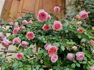 Bí quyết cực dễ để chăm giàn hồng leo nở hoa ngút ngàn, đẹp như trời tây