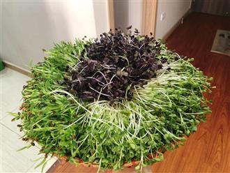 Mẹ nội trợ bật mí 'bí kíp' trồng rau mầm trong thùng xốp tốt um và 'dễ như ăn bánh'
