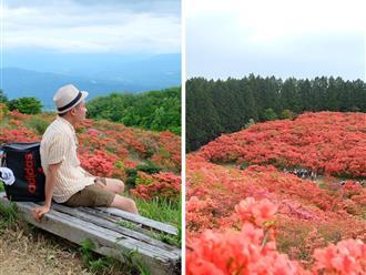 Đẹp đến 'ngạt thở' với rừng hoa đỗ quyên đỏ rực kéo dài bất tận giữa lòng cao nguyên Nhật Bản