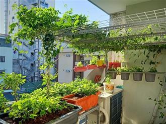 Học ngay anh 'chồng đảm' cách trồng vườn rau xanh - sạch - đẹp trong 'mảnh vườn' ban công 3m2, ăn quanh năm không hết