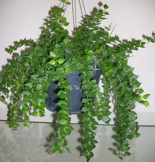 5 loại cây trồng trong nhà vô cùng tốt cho phong thủy phòng ngủ - Ảnh 4