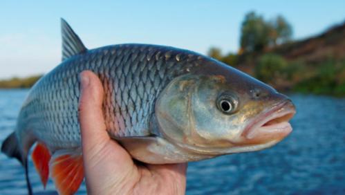 Một bộ phận của cá được cho là 'thần dược' sức khỏe, nhưng 99% bị vứt đi - Ảnh 2