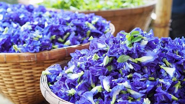 Trong hoa đậu biếc có 2 bộ phận chứa độc tố có thể gây ngộ độc, nhiều gia đình vẫn chưa biết để dùng cho đúng - Ảnh 1