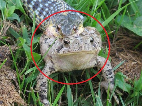 Bị tấn công bất ngờ, ếch độc ngay lập tức sử dụng 'VÕ THUẬT GIA TRUYỀN' khiến kẻ đi săn bại trận rút lui