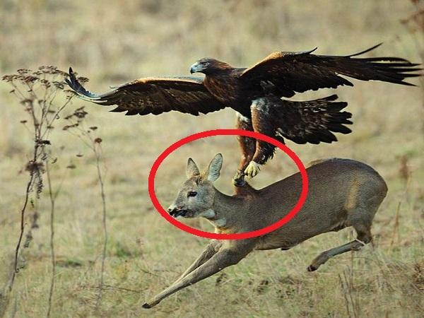 Chạy 'BÁN MẠNG' nai vẫn không thể nào thoát khỏi móng vuốt của 'CHÚA TỂ BẦU TRỜI', loài chim có khả năng giết cả sói xám
