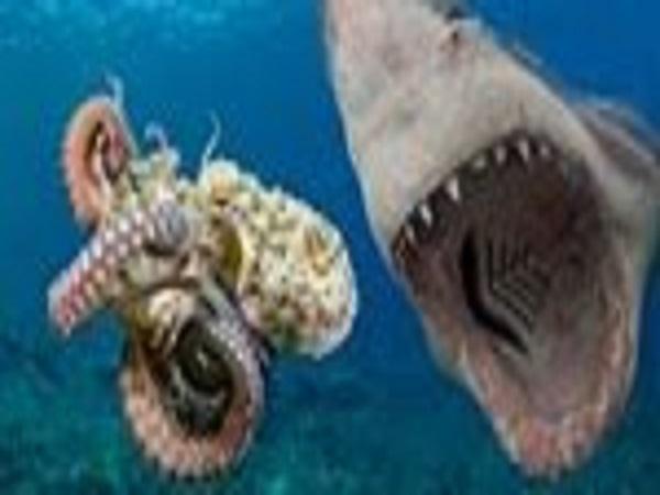 Cuộc tranh hùng dưới đáy đại dương: 'VUA BẠCH TUỘC' và 'CÁ MẬP QUỶ' đối đầu, kẻ chiến thắng khiến nhiều người giật mình
