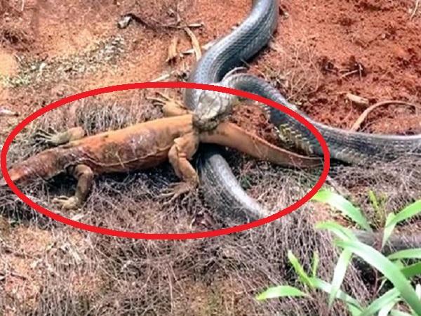 Đối đầu với rắn dữ, cự đà 'GỒNG MÌNH' tấn công và cái kết khiến người xem không thể ngờ