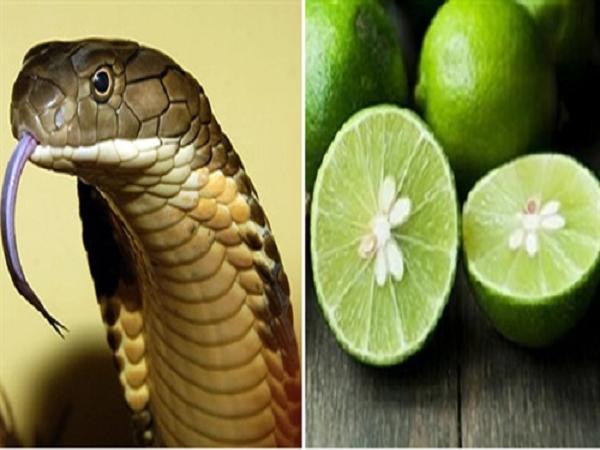 Hạt chanh và công dụng bất ngờ trong Đông y, có thể chữa dứt điểm bệnh ho và cứu người bị rắn cắn