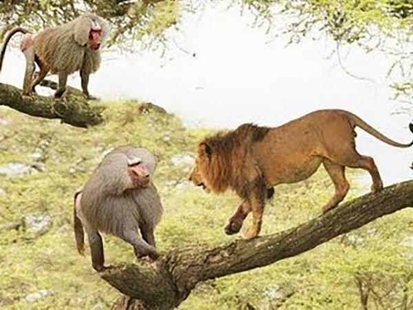 'VUA NÚI RỪNG' cùng tử chiến với 'ĐẠI THÁNH', trận chiến lịch sự làm chấn động cả khu rừng rộng lớn