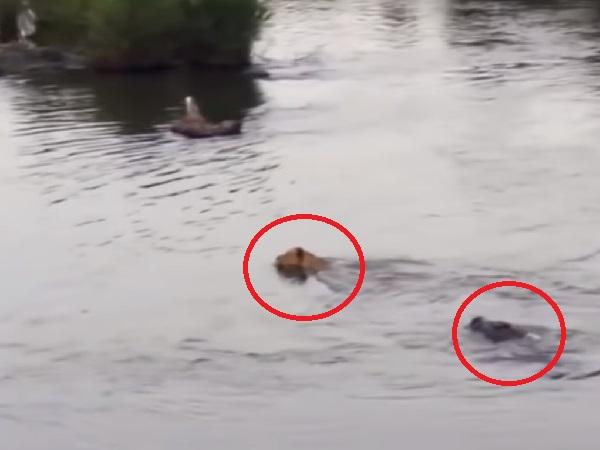 'Chúa sơn lâm' vượt sông không quan sát liền bị con 'CÁ SẤU CHÚA' tấn công đến nổi 'thân tàn ma dại'