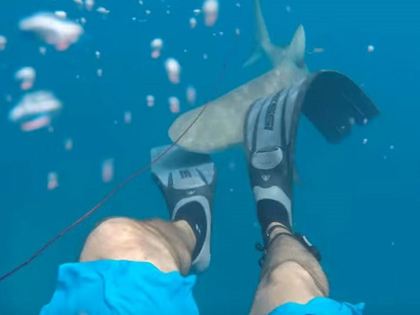 Cướp cá bất thành, 'hung thần' cá mập lập tức 'nổi điên' quay sang tấn công người thợ lặn
