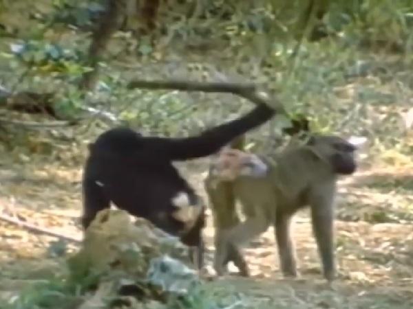'ĐỨNG HÌNH' khi nhìn thấy tinh tinh cầm cây gõ vào đầu khỉ đầu chó và sự thật phía sau khiến ai cũng ngỡ ngàng