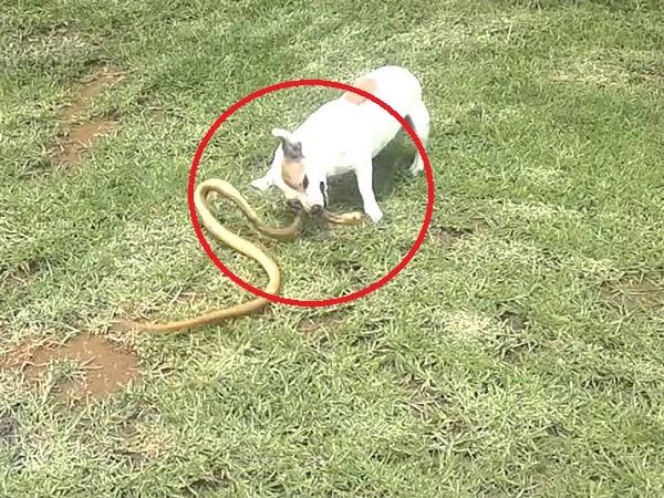 Hổ mang chúa ngang nhiên bò vào vườn nhà người dân, để bảo vệ chủ chú chó đã cắn xé con rắn độc không thương tiếc