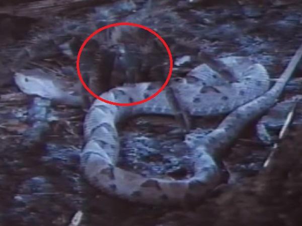 Rắn hổ mang săn nhện khổng lồ nhưng kẻ săn mồi lại bị chính con mồi giết chết và ăn thịt một cách 'DÃ MAN'
