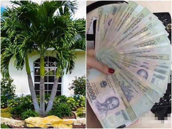 Trồng cây dừa cảnh trước nhà để rước lộc vào nhà quanh năm, MAY MẮN - TIỀN TÀI ùa về như nước lũ két sắt đựng cũng không hết