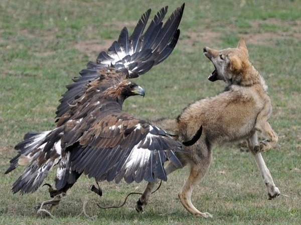 Kinh hoàng cảnh tượng đại bàng khổng lồ ghim móng vuốt 'XÉ THỊT' con mồi giữa đồng hoang, đến kangaroo cũng không phải là đối thủ