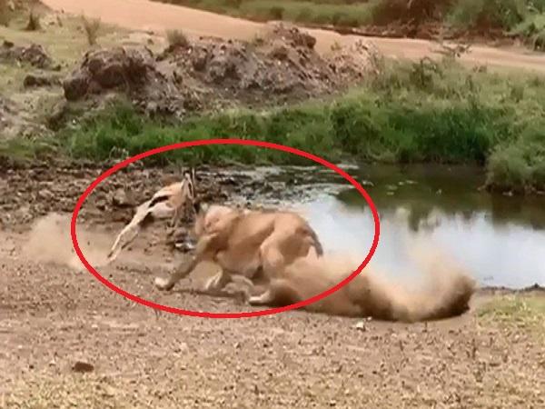 Sư tử tức 'điên người' khi bị linh dương cho ăn 'QUẢ LỪA', lần đầu tiên 'lãnh chúa vùng đồng cỏ' bị chơi khăm thế này