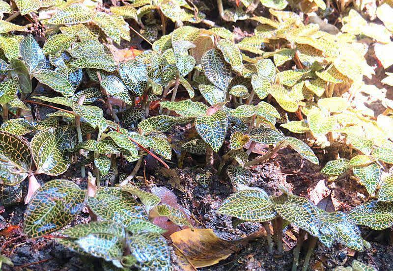 Loại cỏ mọc hoang được ví là 'thần dược', 'cỏ thiêng', quý hơn nhân sâm, có giá lên tới 20 triệu đồng/kg - Ảnh 1