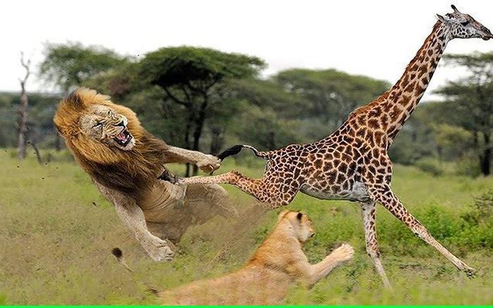 Bị sư tử đeo bám, hươu cao cổ 'tung cước' đá văng đối thủ khiến chúa sơn lâm tối tăm mặt mũi