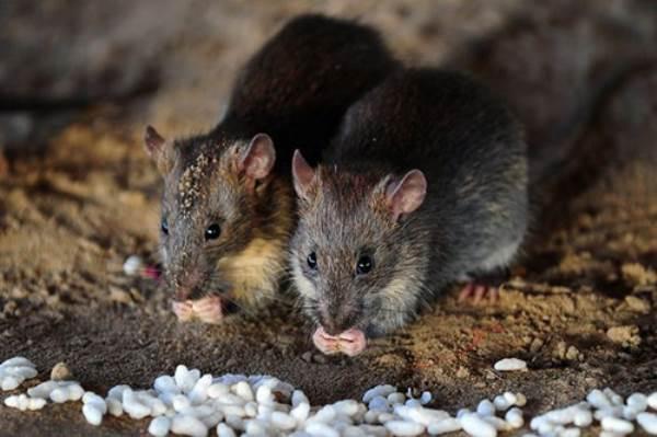 Vì sao trẻ sơ sinh có thể chết thảm vì bị... chuột cắn? - Ảnh 3