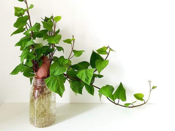 Xu hướng trồng khoai lang làm cảnh 'phủ sóng' toàn dân và câu chuyện 'dở khóc dở cười' của cư dân mạng